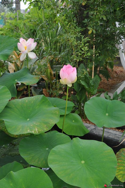 butinages du jour à l'ombre de nos plantes  - Page 4 GBPIX_photo_684325