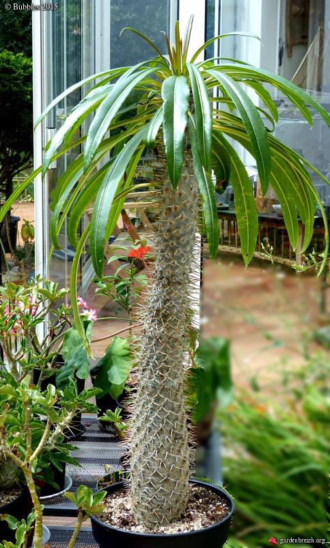 pachypodium - Pachypodium lamerei GBPIX_photo_684649