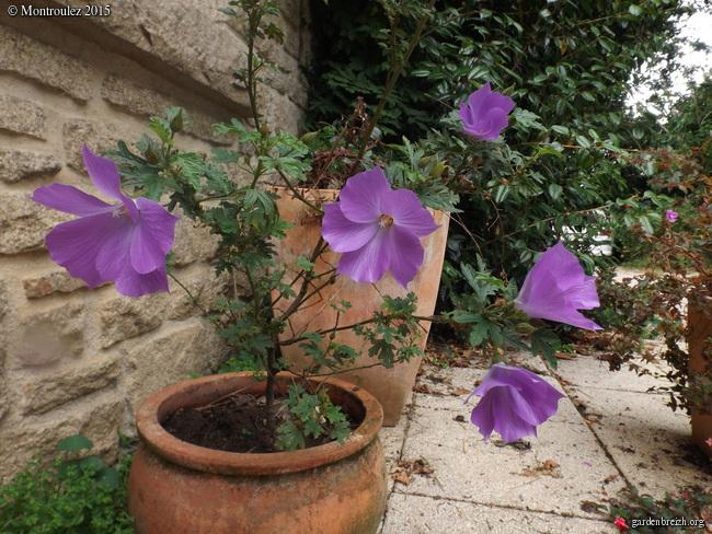 Floraisons du mois de juillet - Page 12 GBPIX_photo_685077
