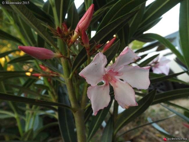 Floraisons du mois de juillet - Page 12 GBPIX_photo_685079