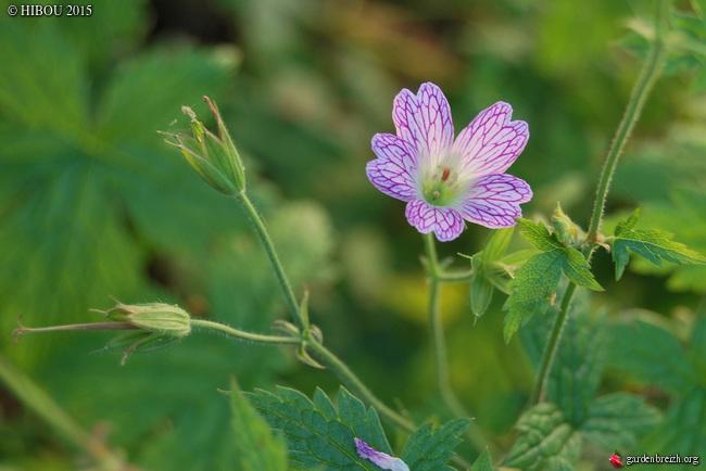Geranium x oxonianum 'Lace Time' ? [identification à confirmer] GBPIX_photo_685352