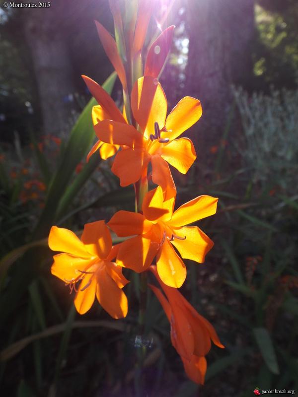Floraisons du mois d'Août - Page 10 GBPIX_photo_685932