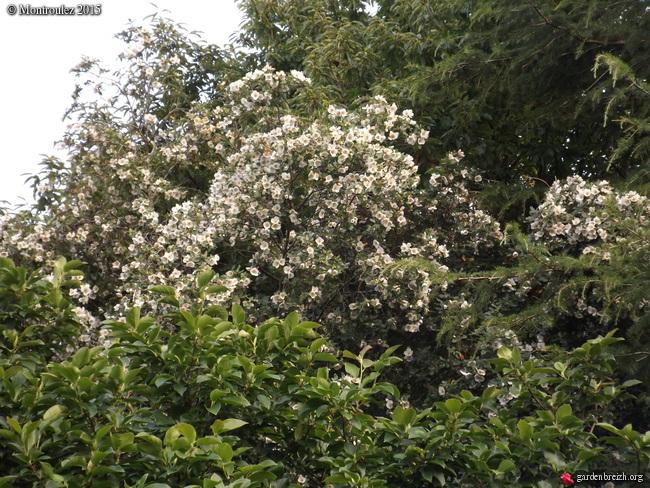 massifs en blanc - fleurs et feuillages : belles associations  GBPIX_photo_688907