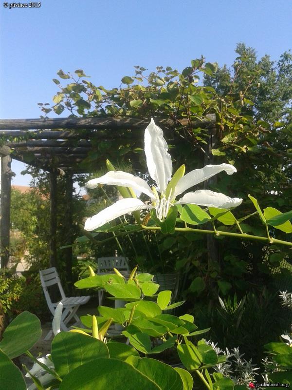Bauhinia grandiflora - Page 2 GBPIX_photo_691591