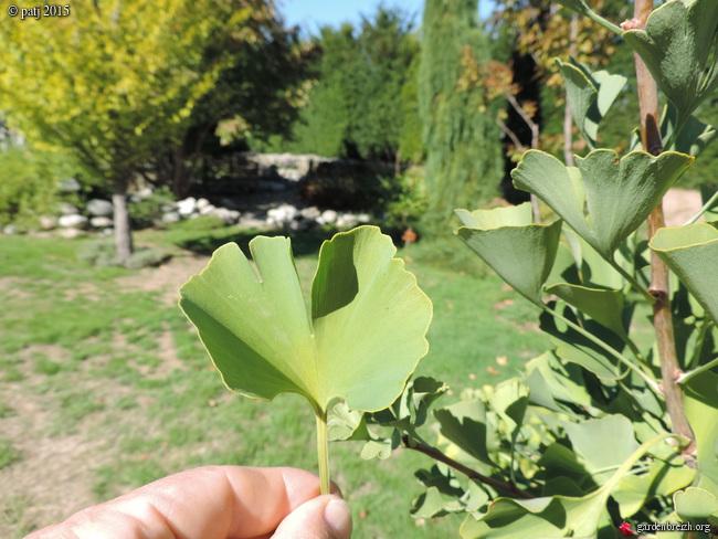 Ginkgo biloba - arbre aux quarante écus - Page 7 GBPIX_photo_691614