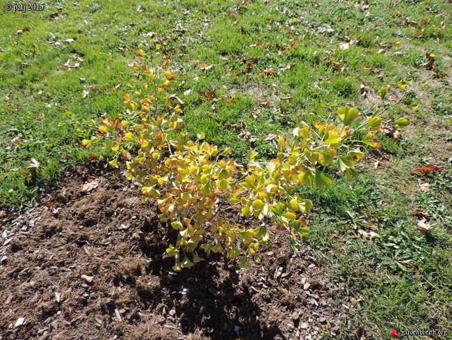 Ginkgo biloba - arbre aux quarante écus - Page 7 GBPIX_photo_691620