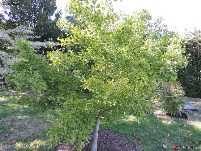 Ginkgo biloba - arbre aux quarante écus - Page 9 GBPIX_photo_691622