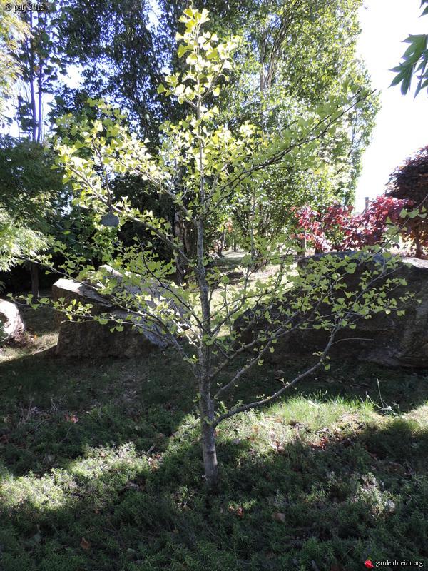 Ginkgo biloba - arbre aux quarante écus - Page 9 GBPIX_photo_691624