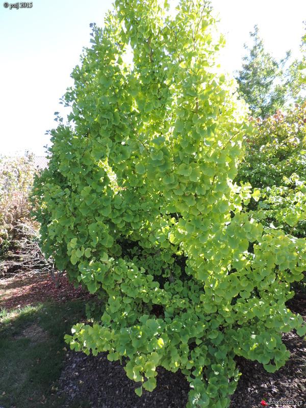 Ginkgo biloba - arbre aux quarante écus - Page 7 GBPIX_photo_691625