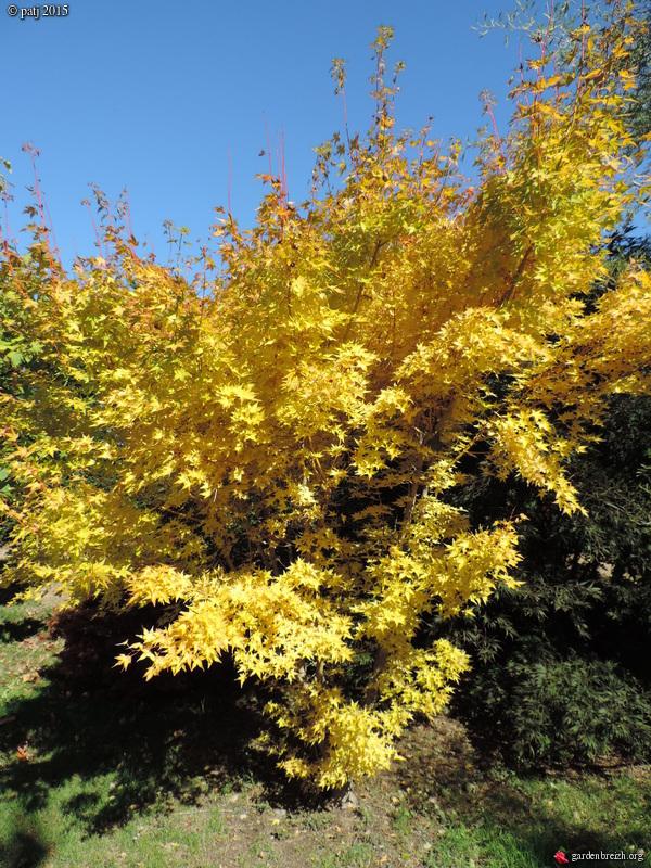 Acer palmatum 'Bi Hoo' GBPIX_photo_691679