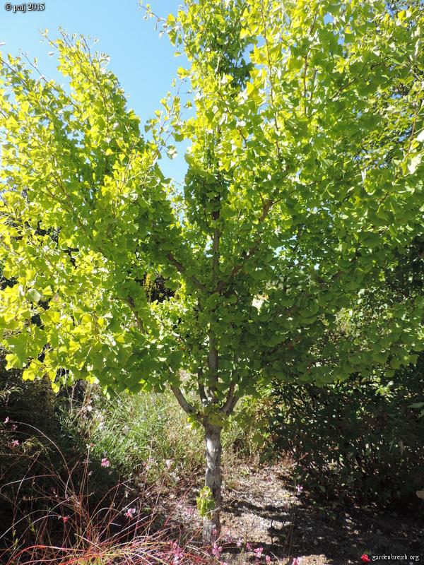 Ginkgo biloba - arbre aux quarante écus - Page 7 GBPIX_photo_691928