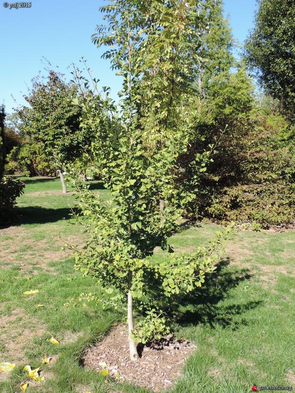 Ginkgo biloba - arbre aux quarante écus - Page 7 GBPIX_photo_692751