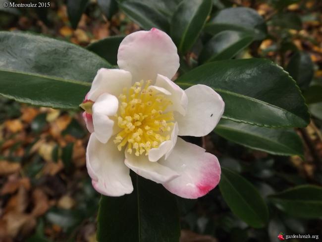 Camellia , saison 2015 - 2016 GBPIX_photo_694197