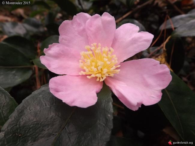 Camellia , saison 2015 - 2016 GBPIX_photo_694198