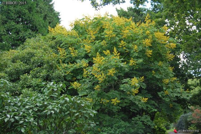 Koelreuteria bipinnata (= K. integrifoliola) GBPIX_photo_694583