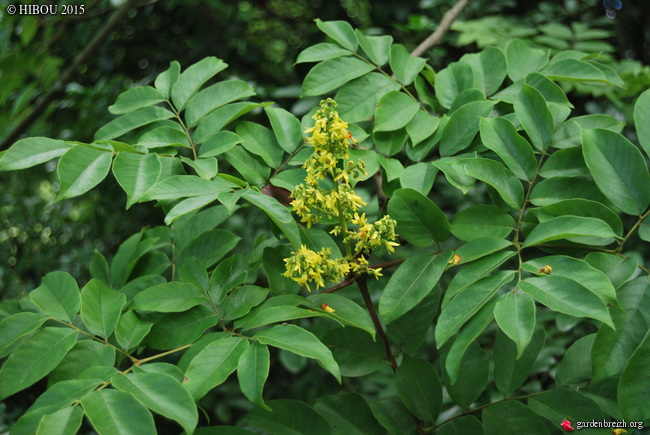 Koelreuteria bipinnata (= K. integrifoliola) GBPIX_photo_694586