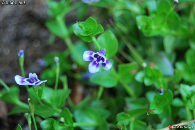 Sinningia tubiflora, Zanthoxylum piperitum, Lindernia grandiflora, Fatsia polycarpa [devinette] GBPIX_photo_694717