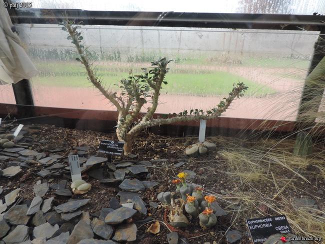 Monsonia vanderietiae - [identification] GBPIX_photo_694740