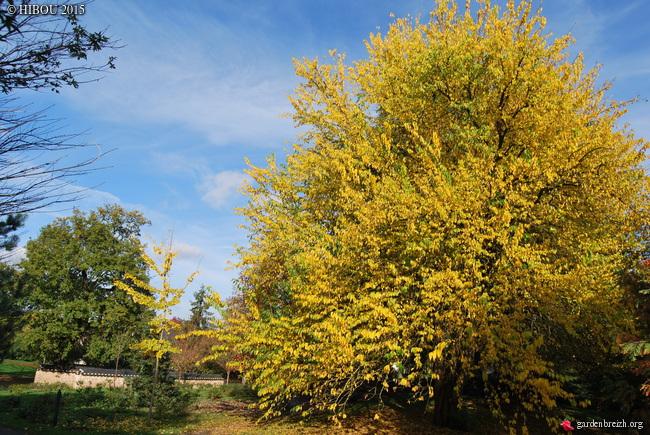 Maclura pomifera - oranger des Osages - Page 2 GBPIX_photo_695960