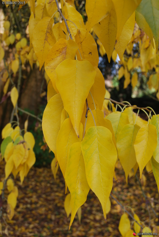 Maclura pomifera - oranger des Osages - Page 2 GBPIX_photo_695963