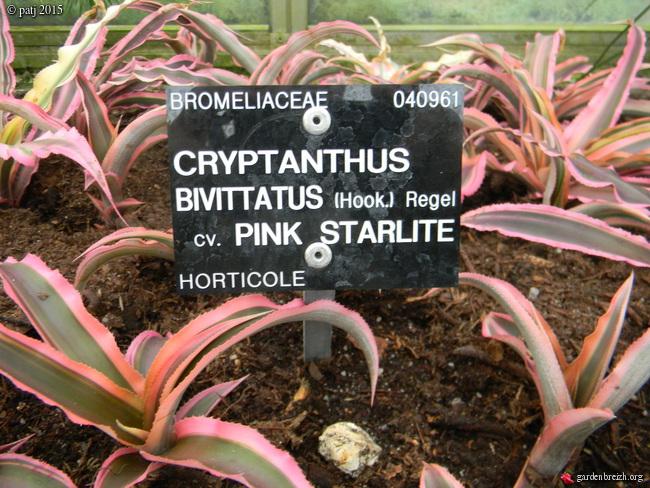 Cryptanthus bivittatus 'Pink Starlite' GBPIX_photo_696339