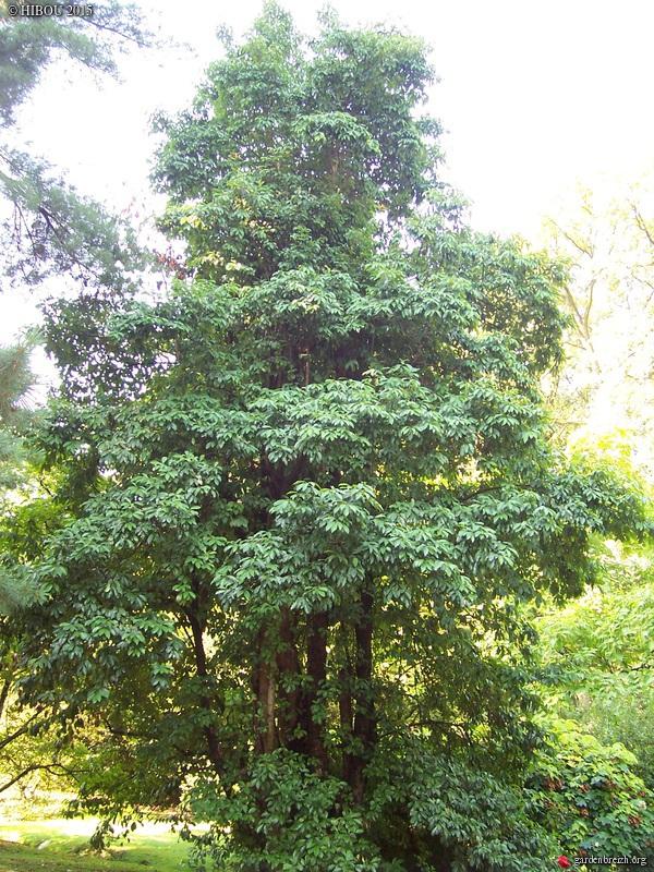 Heteromeles arbutifolia GBPIX_photo_696522