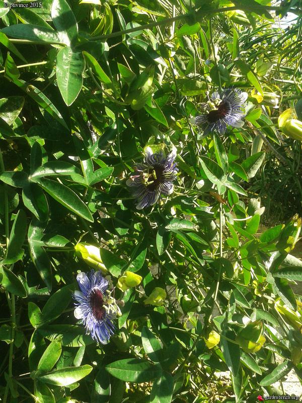 Passiflora 'Purple Haze' GBPIX_photo_696559