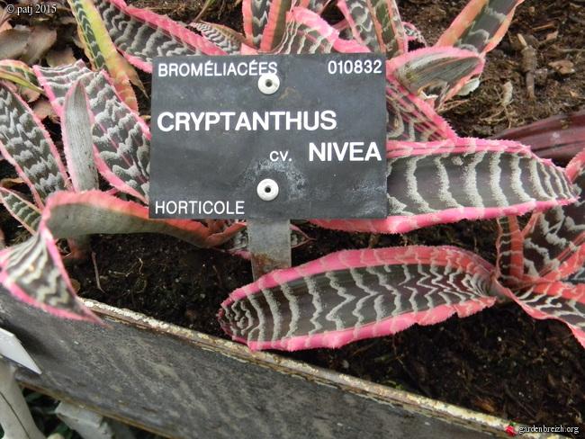 Cryptanthus 'Nivea' GBPIX_photo_696879