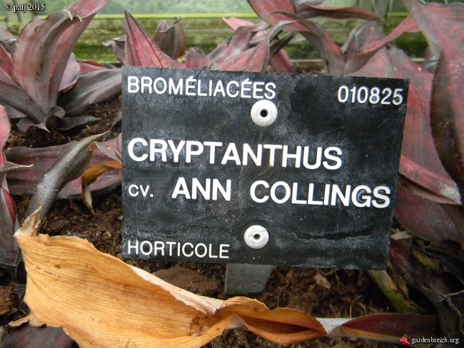 Cryptanthus - le genre GBPIX_photo_696886