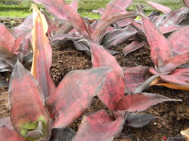 Cryptanthus - le genre GBPIX_photo_696887