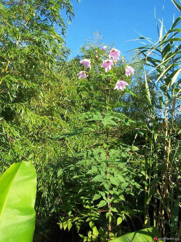 Dahlia imperialis - Page 5 GBPIX_photo_696901
