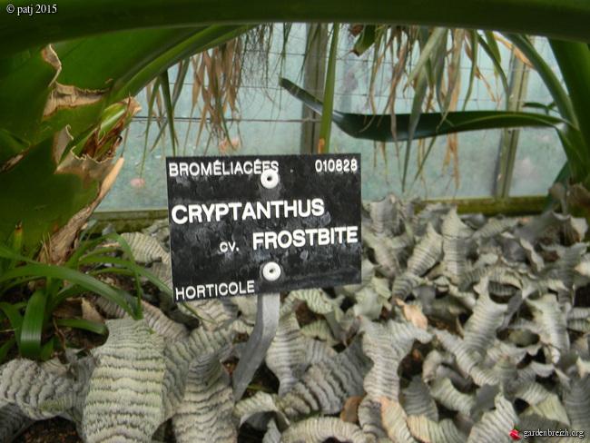 Cryptanthus 'Frosbite' GBPIX_photo_696966