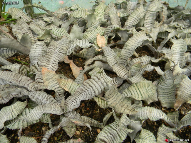 Cryptanthus 'Frosbite' GBPIX_photo_696967