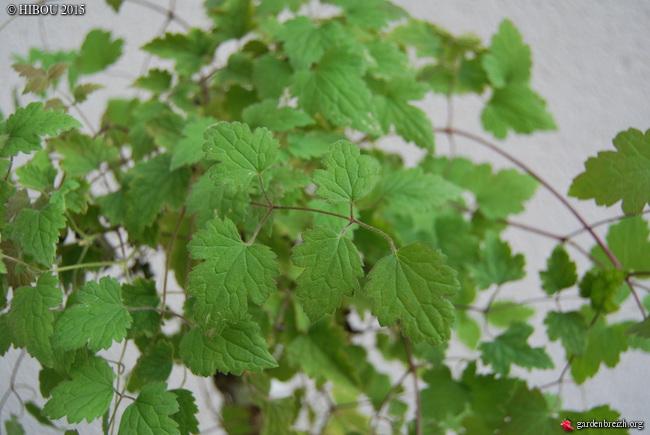 Clematis rehderiana, Huodendron biaristatum, Leitneria floridana, Melliodendron xylocarpum [devinette] GBPIX_photo_699360