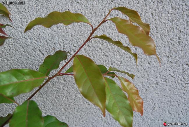 Clematis rehderiana, Huodendron biaristatum, Leitneria floridana, Melliodendron xylocarpum [devinette] GBPIX_photo_699361