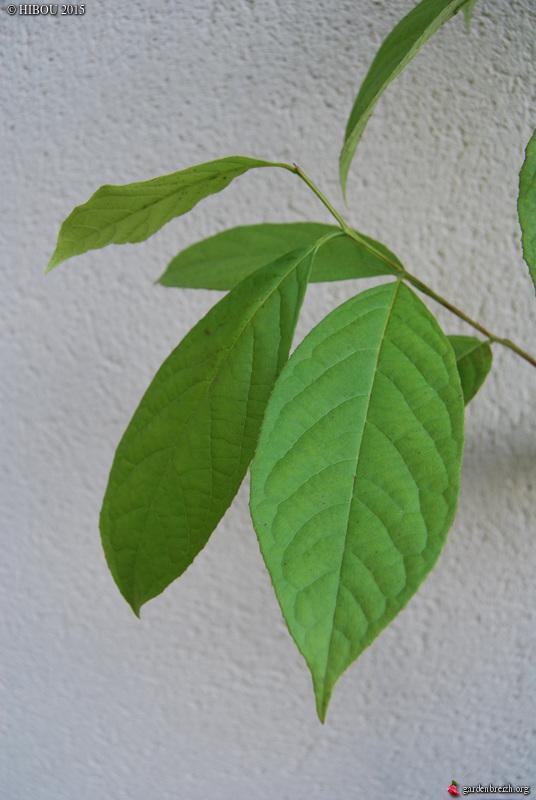 Clematis rehderiana, Huodendron biaristatum, Leitneria floridana, Melliodendron xylocarpum [devinette] GBPIX_photo_699363