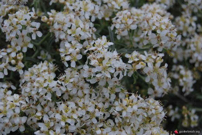 Hermathophylla macrocarpa, Anthyllis vulneraria, Osyris alba [identification] GBPIX_photo_702163