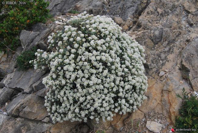 Hermathophylla macrocarpa, Anthyllis vulneraria, Osyris alba [identification] GBPIX_photo_702165