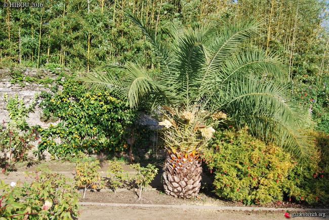 Phoenix dactylifera - palmier dattier GBPIX_photo_702361