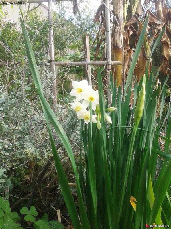 Narcissus tazetta et hybrides horticoles GBPIX_photo_702374