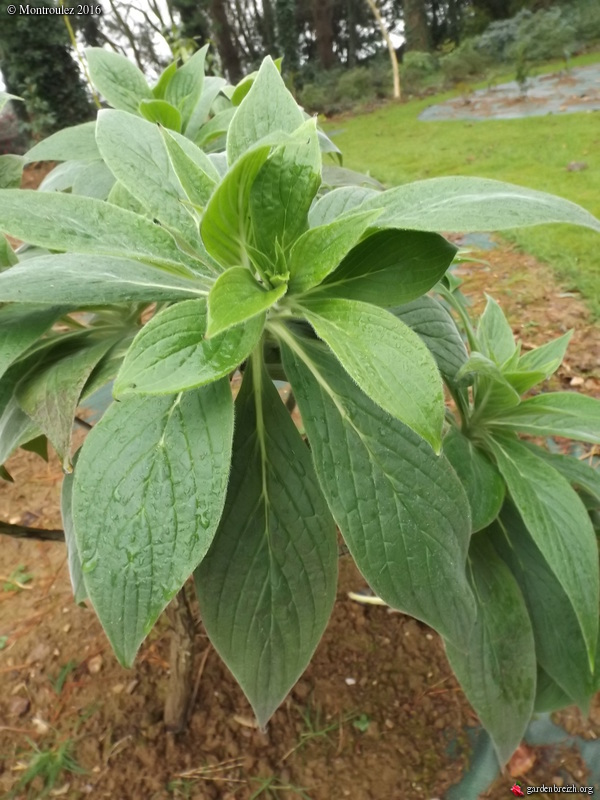 Echium sp.  [id. non terminée] GBPIX_photo_702774