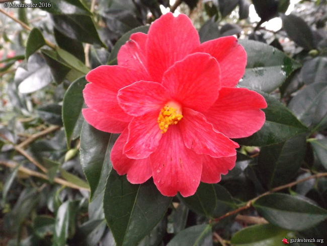 Camellia , saison 2015 - 2016 - Page 2 GBPIX_photo_702780