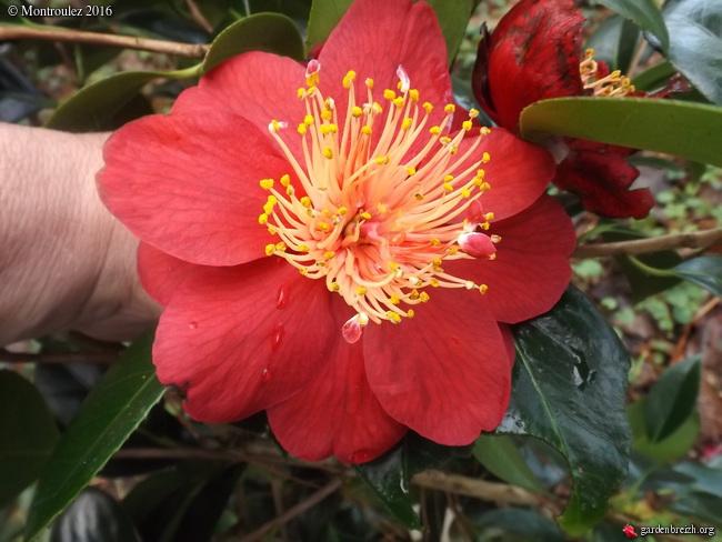 Camellia , saison 2015 - 2016 - Page 2 GBPIX_photo_703042