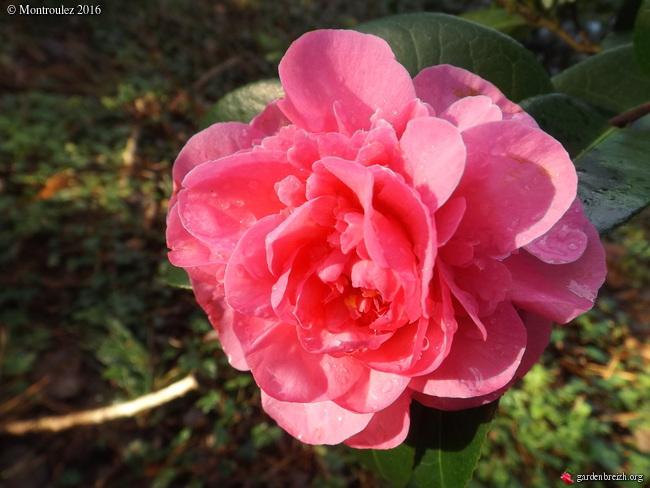 Camellia , saison 2015 - 2016 - Page 2 GBPIX_photo_703045