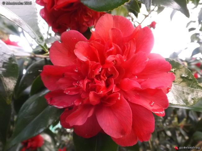 Camellia , saison 2015 - 2016 - Page 2 GBPIX_photo_703050