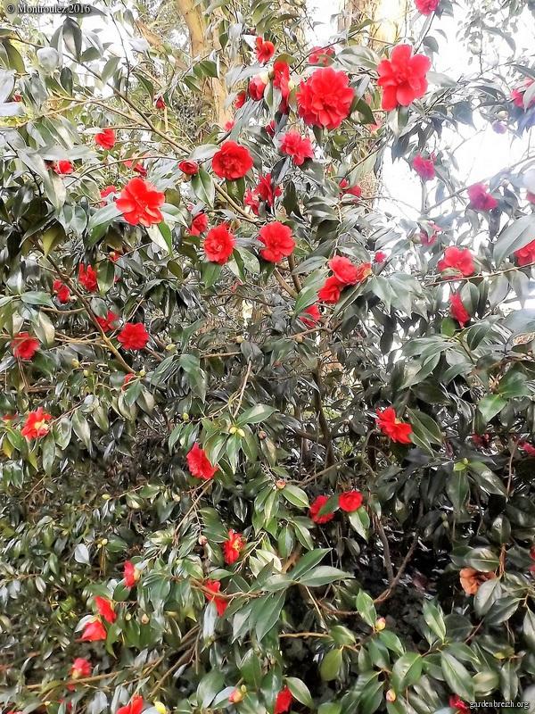 Camellia , saison 2015 - 2016 - Page 2 GBPIX_photo_703051