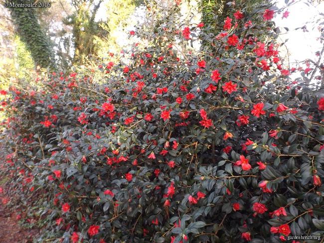 Camellia , saison 2015 - 2016 - Page 2 GBPIX_photo_703052