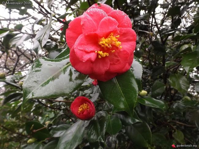 Camellia , saison 2015 - 2016 - Page 2 GBPIX_photo_703096