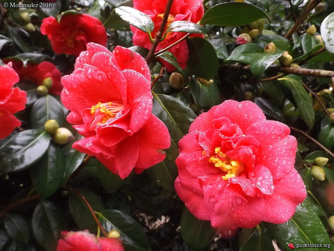 Camellia , saison 2015 - 2016 - Page 2 GBPIX_photo_703098