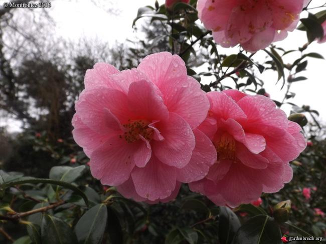 Camellia , saison 2015 - 2016 - Page 2 GBPIX_photo_703103